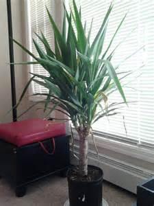 Indoor Yucca Plant Brown Leaves