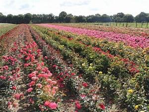 Rosen Kaufen Günstig : rosen berraschung rosen berraschung g nstig online kaufen ~ Markanthonyermac.com Haus und Dekorationen