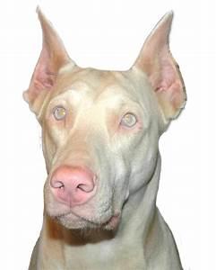 50+ Mind Blowing Doberman Pinscher Dog - Golfian.com
