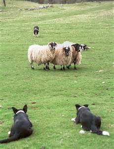 Border Collie Working Sheep Dog