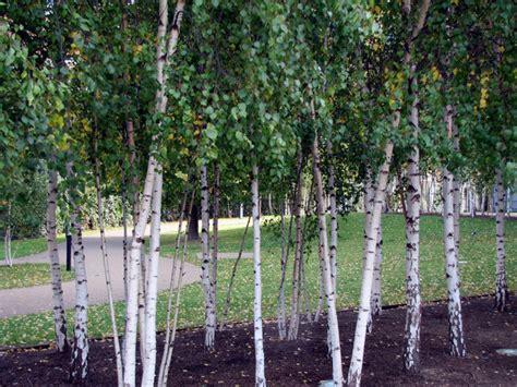 modern trees landscaping birch trees modern landscape london