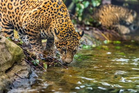 Captivating Facts About The Food Jaguars Eat And Their Habitat