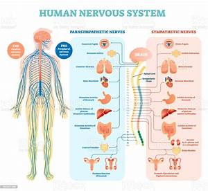 Human Nervous System Medical Vector Illustration Diagram With Parasympathetic And Sympathetic