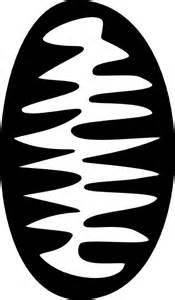 Mitochondria Clip Art Black and White