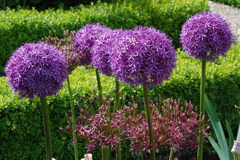 pictures of alliums great balls of flower alliums the biking gardener