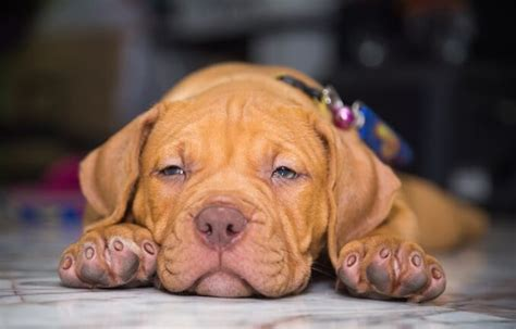 Dog Red Nose Pitbull Puppies