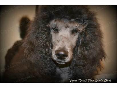 Standard Super Poodles Poodle