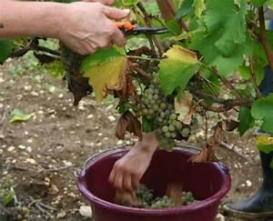 Achat Pied De Vigne Raisin De Table : achat de pied de vigne ou location covigneron ~ Nature-et-papiers.com Idées de Décoration