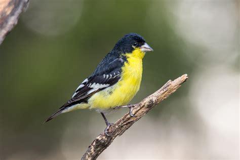 lesser goldfinch spinus psaltria