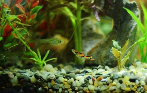 nano fish  small aquariums  aquarium club