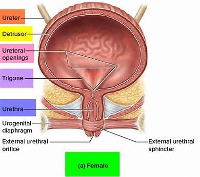 Bladder Prolapsed Anatomy Urinary Causes Figure Symptoms