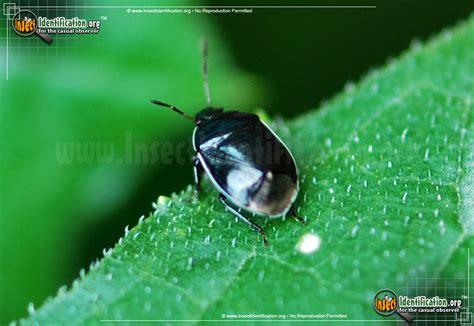 photograph image gallery   white margined burrower bug