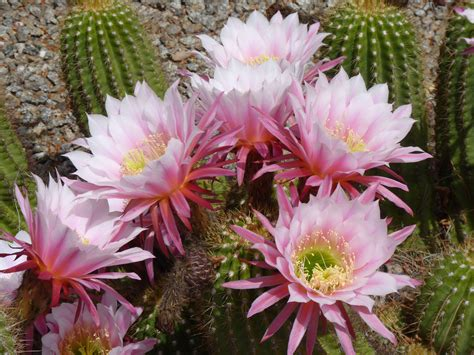 Giant Argentine Cactus Blossoms