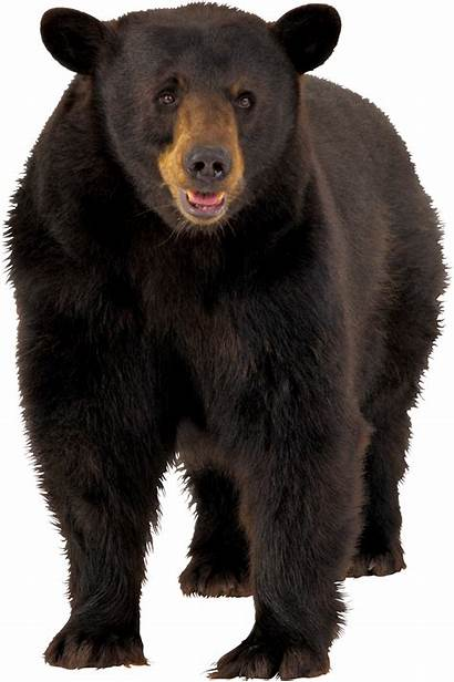 Transparent Bear Brown Clipart Clip Bears American
