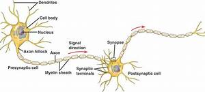 A Key Signaling Pathway That Triggers Neuron Growth