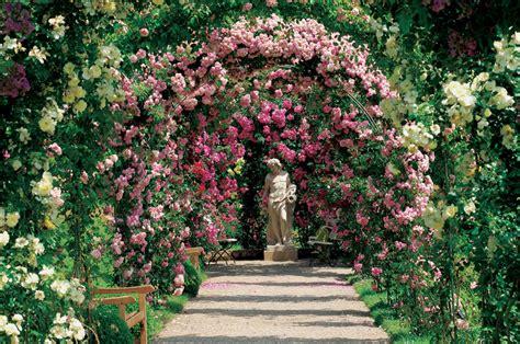rosiers remontants ou rosiers grimpants roses guillot
