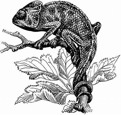 Chameleon Clipart Drawing Chameleons Line Lizard Illustration