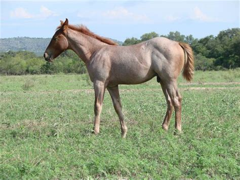 aqha pending  red roan horse colt king p