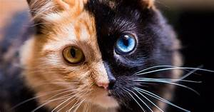 Cats La : meet quimera the two faced cat who 39 s gonna steal your heart ~ Orissabook.com Haus und Dekorationen