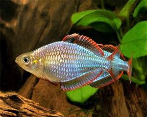 1556 best images about Peces de acuarios Acuarium Fish