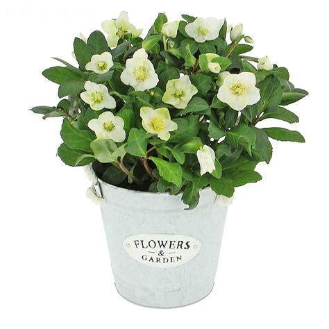 livraison hell 233 bore plante fleurie foliflora