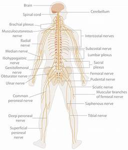 Te-nervous System Diagram - Nervous System