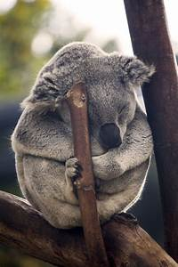 216 best images about Baby Koalas on Pinterest | Baby toys ...