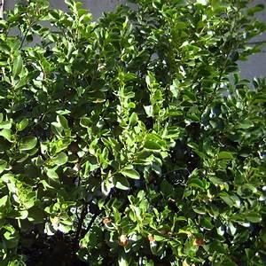 Arbuste Feuillage Persistant Croissance Rapide : arbuste pour haie persistant croissance rapide ~ Premium-room.com Idées de Décoration