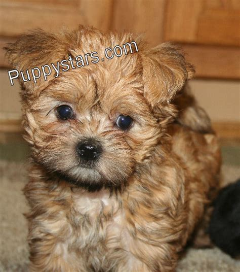 Long Haired Dachshund Yorkie Mix