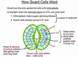 Diagram Of The Stomata And Guard Cells  Diagram  Free