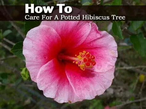 how to care for a bush how to care for a potted hibiscus tree gardening goddess pinter