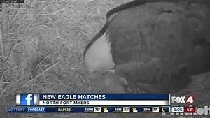 Second Eaglet Hatches In The Southwest Florida Eagle Cam Nest