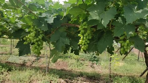 grapa awards jupiter group arra table grape exclusivity india