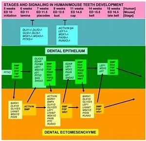 A Curriculum Vitae Of Teeth  Evolution  Generation