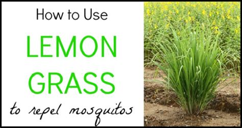 how to repell mosquitoes how to use lemon grass to repel mosquitos your stylish life