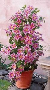 Plantes Grimpantes Pot Pour Terrasse : une plante fleurie grimpante pour terrasse ou jardin la ~ Premium-room.com Idées de Décoration