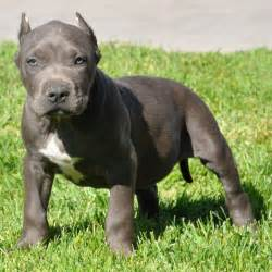 Blue Bully Pitbull Puppies for Sale