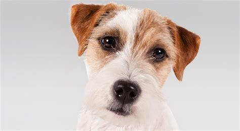 cosas sobre el parson jack russell terrier vitake