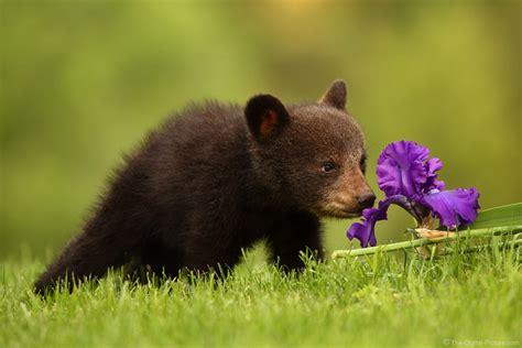 canon     captures black bear cub   iris