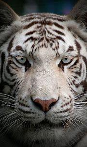 Paradise Wildlife Park: White Tiger   Animals beautiful ...