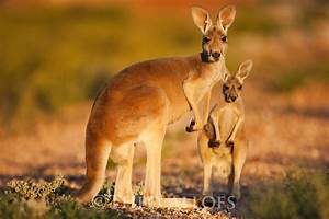 Red Kangaroo Facts, History, Useful Information and ...