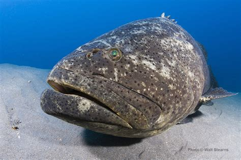 grouper goliath groupers