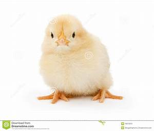 A Baby Yellow Chicken Isolated On White Royalty Free Stock ...