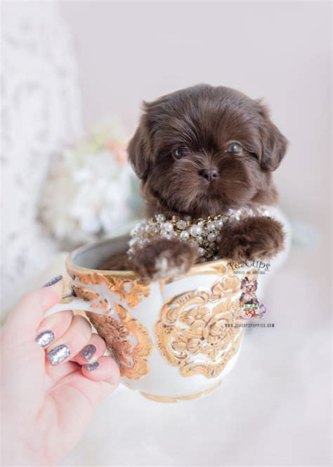 imperial shih tzu puppies  sale  teacups puppies