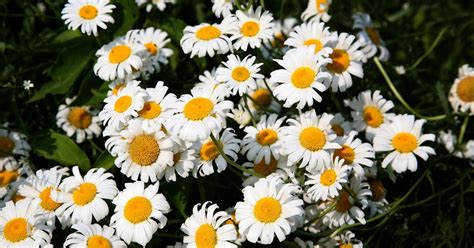 plants that come back every year what flowers and plants come back every year ehow uk