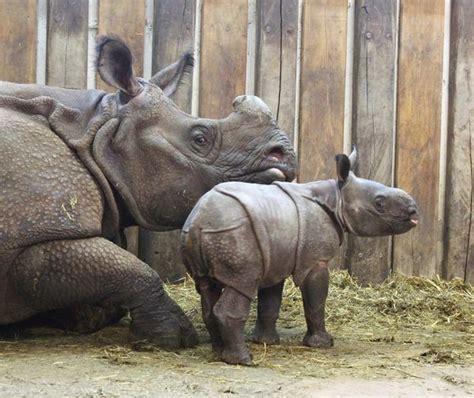 zoo rhino warsaw indian baby born poland zooborns animals rhinoceros newborn meet rhinos animal cute christmas zoos polish elephant january
