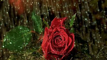 Rain Rose