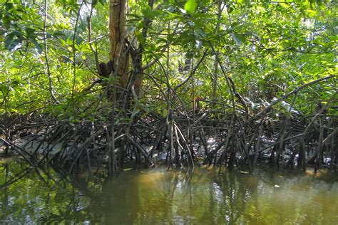 File:Mangrove-1.JPG - Wikimedia Commons