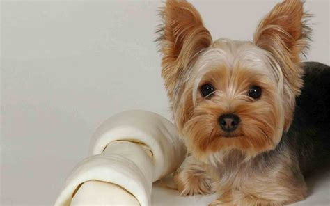 Yorkie Puppies Images Terrier Stock Image