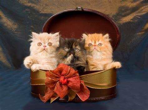 gattini persiani regalo gattini abbastanza persiani svegli in contenitore di